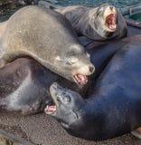 Leão de mar que urra Fotografia de Stock