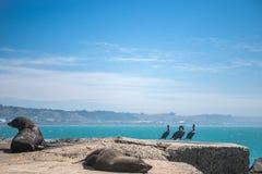 Leão de mar, selo no selvagem Fotografia de Stock