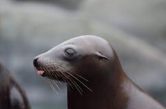 Leão de mar tongue3 imagem de stock royalty free