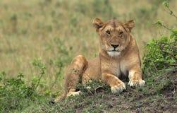 Leão de Masai-Mara Fotos de Stock Royalty Free