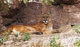 Leão de montanha Imagem de Stock