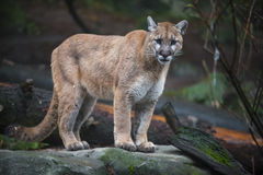 Leão de montanha Imagens de Stock
