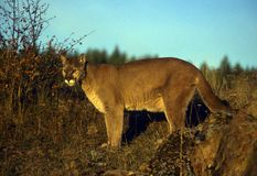 Leão de montanha adulto Fotografia de Stock Royalty Free