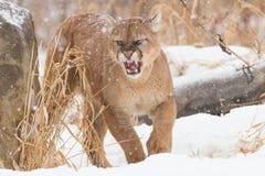 Leão de montanha agitado fotos de stock