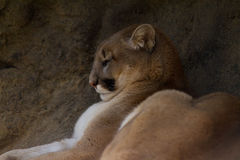 Leão de montanha da pantera do puma Fotografia de Stock Royalty Free