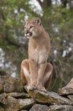 Leão de montanha em rochas Fotos de Stock Royalty Free