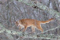 Leão de montanha na árvore imagens de stock