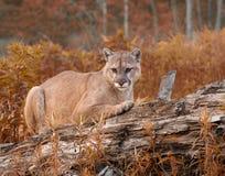 Leão de montanha na folhagem de outono Fotografia de Stock