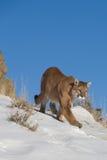 Leão de montanha no cume da montanha Foto de Stock Royalty Free
