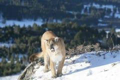 Leão de montanha no cume da montanha Fotografia de Stock Royalty Free