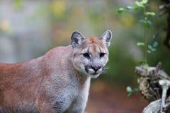 Leão de montanha Prowling Foto de Stock Royalty Free
