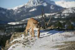 Leão de montanha que anda no vale Fotos de Stock Royalty Free