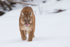 Leão de montanha que desengaça na neve Fotografia de Stock