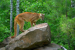Leão de montanha que está em uma grande rocha Fotos de Stock Royalty Free
