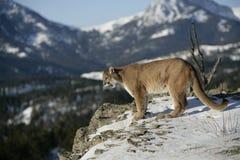 Leão de montanha que olha no vale Imagens de Stock Royalty Free