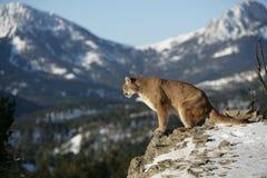 Leão de montanha que olha no vale Fotos de Stock Royalty Free