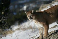 Leão de montanha que olha no vale Fotografia de Stock