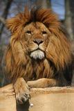Leão de observação Foto de Stock Royalty Free