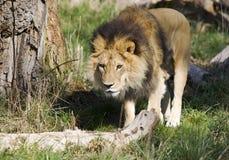 Leão de passeio Fotografia de Stock Royalty Free