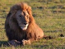 Leão de Serengeti Imagem de Stock
