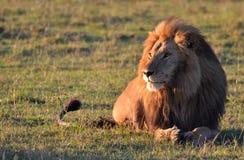 Leão de Serengeti Foto de Stock Royalty Free