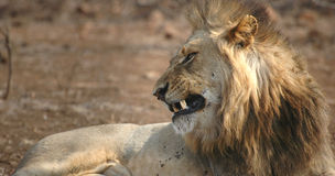 Leão de vista agressivo Imagens de Stock