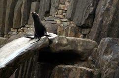 Leão do ‹do †do ‹do †do mar, animais amigáveis no jardim zoológico de Praga Fotografia de Stock Royalty Free