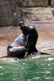 Leão do ‹do †do ‹do †do mar, animais amigáveis no jardim zoológico de Praga Imagens de Stock
