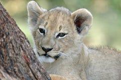 Leão do bebê. Fotos de Stock