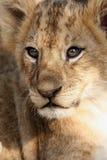 Leão do bebê imagens de stock