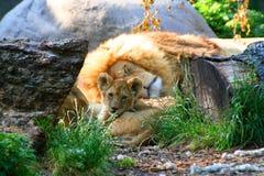Leão do bebê Imagem de Stock