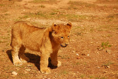 Leão do bebê Fotografia de Stock