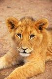 Leão do bebê Fotos de Stock Royalty Free