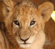 Leão do bebê da face Imagem de Stock