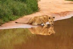 Leão do bebê que bebe no furo de água Foto de Stock Royalty Free