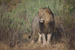 Leão do homem adulto, reserva do jogo de Mashatu Imagens de Stock