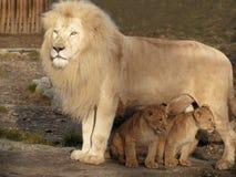Leão do paizinho e seus dois bebês Fotos de Stock