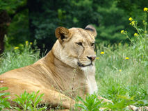 Leão do rei Imagem de Stock Royalty Free