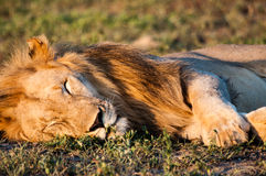 Leão do sono Imagens de Stock Royalty Free