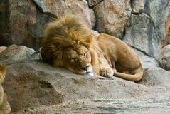 Leão do sono Imagens de Stock