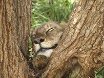 Leão do sono durante um safari em Kenya Imagens de Stock Royalty Free