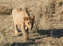 Leão dos animais 032 foto de stock