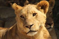 Leão dourado Foto de Stock