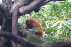 Leão dourado do Tamarin Imagem de Stock