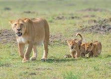 Leão e filhotes Fotos de Stock