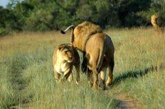 Leão e leoa Fotografia de Stock Royalty Free