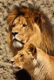 Leão e leoa Fotos de Stock Royalty Free