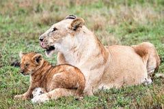 Leão e seu filhote imagens de stock royalty free