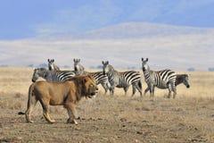 Leão e zebra Foto de Stock