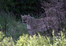 Leão em África do Sul fotografia de stock